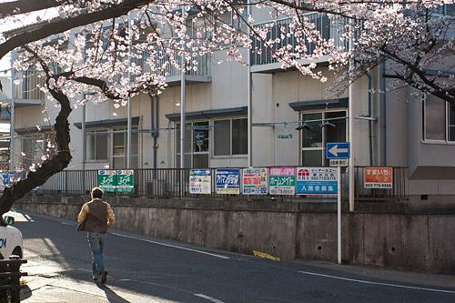 近所桜1-8