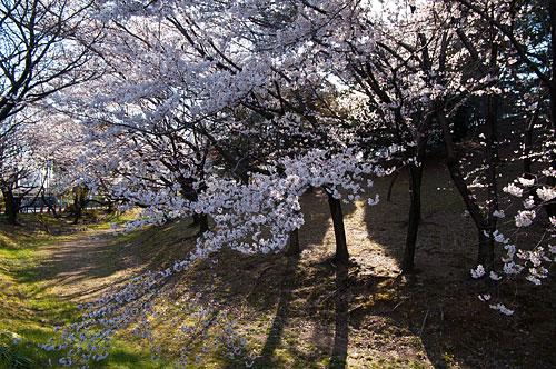 桜便り2-10