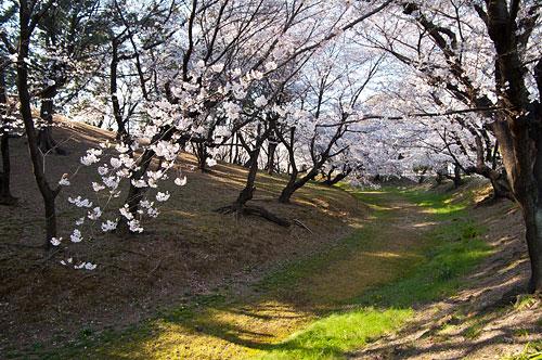 桜便り2-11