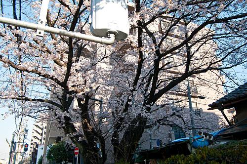 桜便り2-13