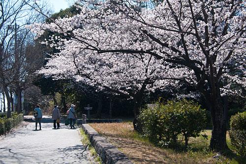 桜便り2-5