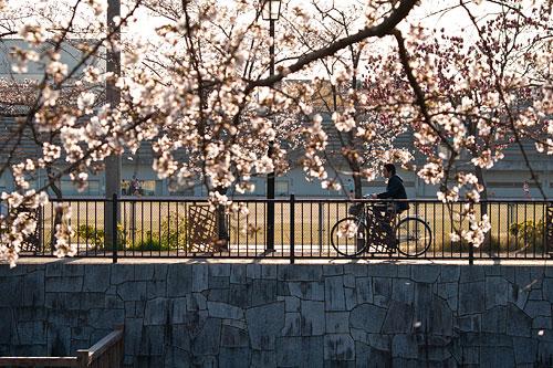 山崎川桜-1