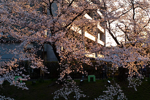 山崎川桜-14