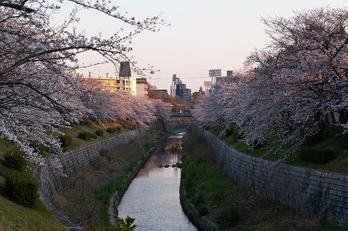 山崎川桜-17