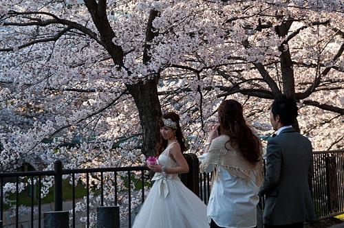 山崎川桜-4