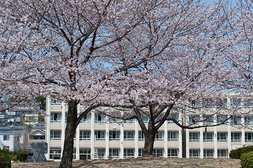 大森北小学校と桜