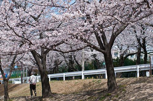 桜咲く下で散歩