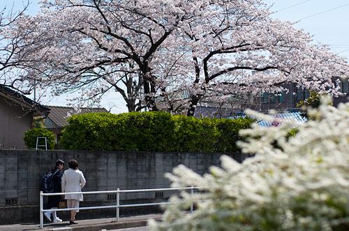 大森中央公園付近の桜