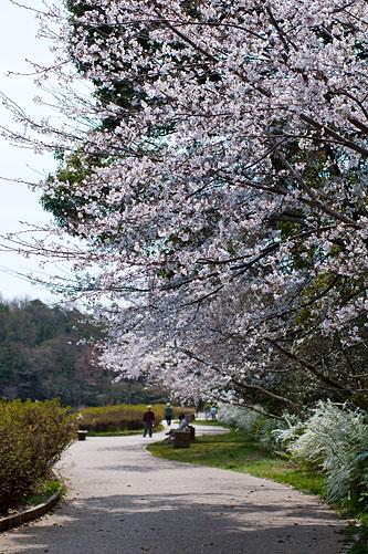 桜便り4-9