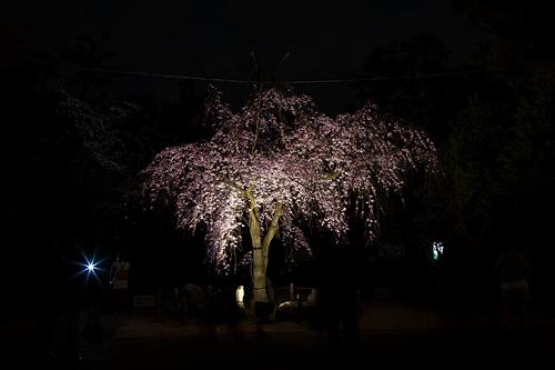 名古屋城桜-11