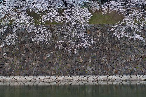 名古屋城桜-15