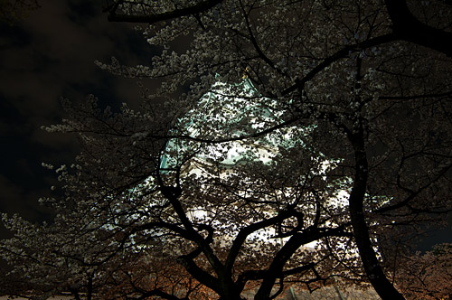 名古屋城桜-19