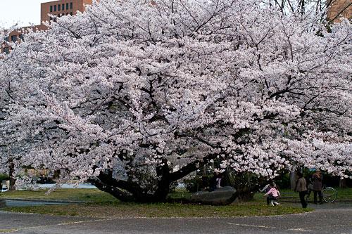 名古屋城桜-2