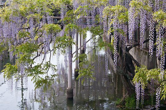 たれる藤と川