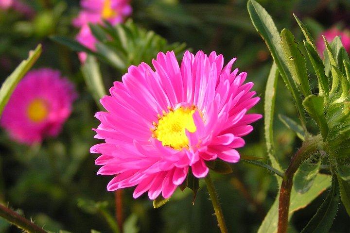 カレンダー 6月カレンダー2015 : ピンク・紫・白のアスター ...