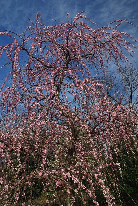 垂れ梅の咲く神社 3