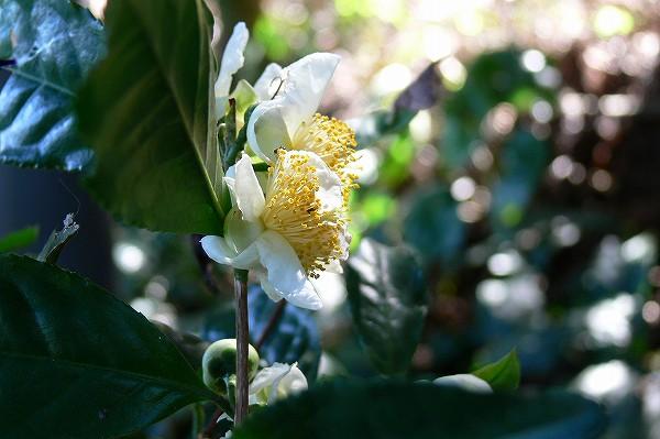 チャノキ ( 茶の木 )