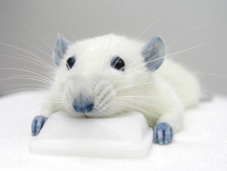 090727-01-blue-rat-after-dye_big.jpg