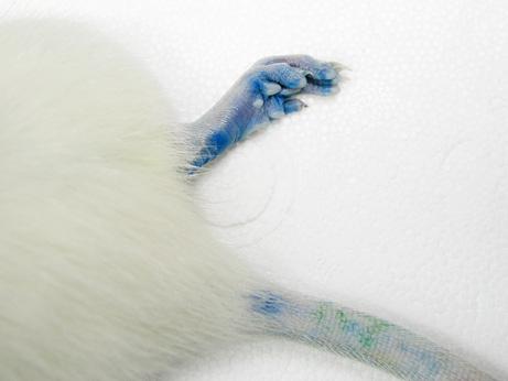 090727-03-blue-rat-foot-tail_big.jpg