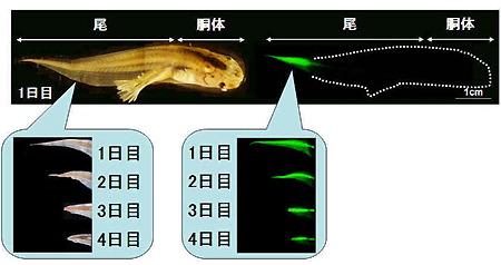 オタマジャクシ:尾は免疫拒絶で消える 新潟大チーム解明