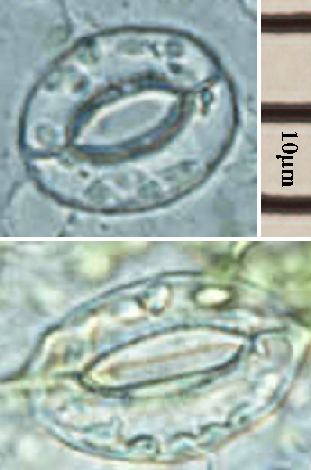 Stomata_open_close.jpg